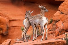 James Marvin Phelps posted a photo: Yin Yang Desert Big Horn Sheep Lambs Valley of Fire State Park Overton, Nevada Fire Photography, Wildlife Photography, Yin Yang Art, Valley Of Fire State Park, Big Horn Sheep, Lean On Me, Sheep And Lamb, Canvas Prints, Art Prints