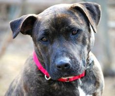 Adopted! Zita is an adoptable American Staffordshire Terrier Dog in Spring Lake, NJ. Zita is a loving, gentle, strong and playful, 3 yr. old, American Staffordshire Terrier/Pit Bull Terrier mix who lived her...