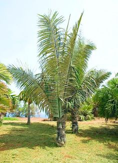 Arenga pinnata syn Arenga saccharifera is an economically important feather palm native to tropical Asia from eastern India east to Malaysia Indonesia a Colorful Plants, Tropical Plants, Tropical Gardens, Tropical Landscaping, Garden Landscaping, Tree Fern, Paradise On Earth, Palm Trees, Backyard