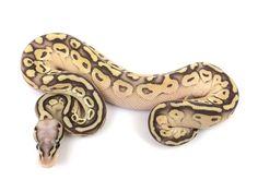 Super Pastel Butter Fire Ball Python