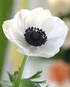 Obsession with white anemones. I cannot think of a prettier flower than this!