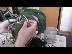 Expertin verrät, wie Orchideen gedeihen - YouTube