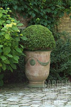 Boxwood -- my absolute favorite, they are the classiest shrub -- if can refer to shrub as classy - LOL .. I just love them.. all forms of them. :)