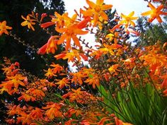 Crocosmia ..   Easy care, hardy plant/bulb that has long spikes of reddish orange star shaped flowers in summer. Good for picking