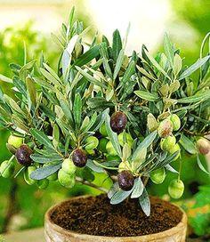 mango exotische obstb ume im topf pflanzen pflegen obwohl. Black Bedroom Furniture Sets. Home Design Ideas