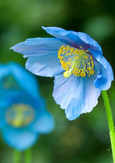 Himalayan Blue Poppy (Meconopsis Betonicifolia); needs acid soil, part shade; does best if allowed to self seed