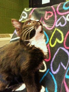 Meet Paul. He is a 5-month old, medium haired, male kitten. Paul is a typical kitten: playful, inquisitive, active, friendly, and loving. He's probably going to be a pretty big boy! Paul has beautiful markings, and a soft, fluffy coat that will...