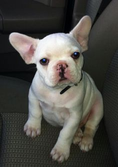 Baby Louie, the French Bulldog Puppy❤️