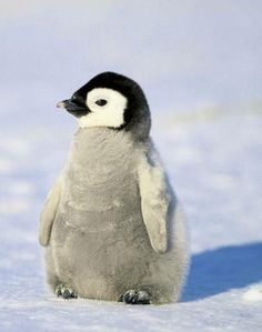 January 20 is Penguin Awareness Day (Sierra Club)
