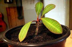 Nukkatyräkki eli Euphorbia leuconeura. Tietoa ja hoito-ohjeita.