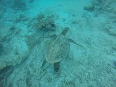 Spotted at GVI Seychelles during a dive! #seaturtle #marinelife #scubadiving