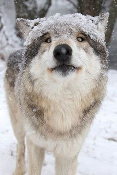 Animal Spirit Guides, Spirit Animal, Crow Pictures, Of Wolf And Man, Animals And Pets, Cute Animals, Wolf Husky, Wolf Photos, Wolf Stuff