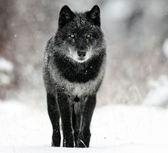 Abrió los ojos y se encontró su amado bosque en llamas. El lobo no pudo más que maldecir al ser humano y su ansia por destruir #microcuento
