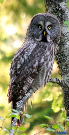 Strix nebulosa Raptor Bird Of Prey, Birds Of Prey, Owl Photos, Owl Pictures, Beautiful Owl, Animals Beautiful, Owl Bird, Pet Birds, Nocturnal Birds