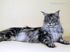 Maine Coon Katze Abelhas Badriya der Katzenzucht Maine Coon Castle #mainecoon #cat