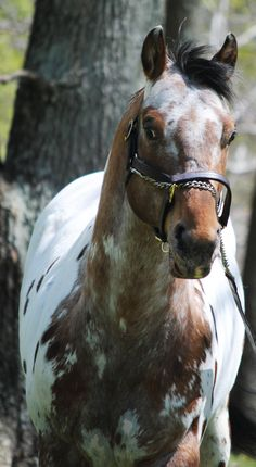Standing at Stud- Doncha Wanna Moon Me  For more information look up Waibel Farm Appaloosa Horses on facebook