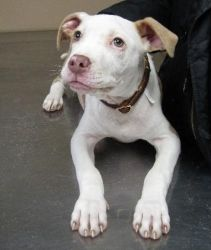 Squirt is an adoptable American Staffordshire Terrier Dog in Minneapolis, MN. ��� � Can you spare a buck for a poor dog down on his luck? ......