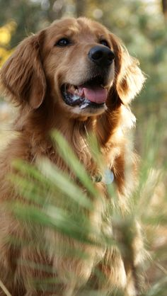 This golden retriever reminds me of ours when I was growing up! :( Whyyy am I allergic to dogs now...why!?