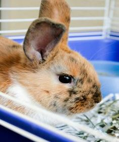 Peebles is an adoptable Satin Rabbit in Grand Rapids, MI. I'm Peebles! I'm a shy gal looking for a loving family willing to take the time to socialize me. If you would like to learn more about me, ple...