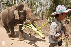 Nam Choke, one of our female elephants, is going for a walk with her mahout. We don't use the bullhook, and don't force her to walk further than she wants to.