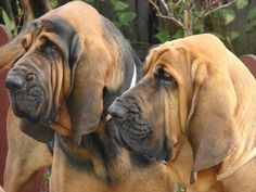 bloodhounds :)