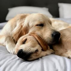 Why retriever breed dogs make the best pets Cute Puppies, Dogs And Puppies, Doggies, Chien Golden Retriever, Golden Retrievers, Dog Rates, Cute Funny Dogs, Retriever Puppy, Dog Life