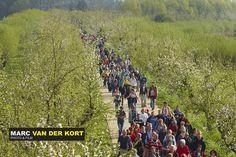 #Bloesemtocht 2014 De Bloesemtocht loopt voor een deel over landgoed Heerlijkheid Mariënwaerdt. Ruim 30.000 wandelaars deden mee in 2014.