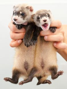 Ferrets--babies! So cute! My own ferret, Rocky, is over 7 now!