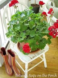 Image result for overwatered geraniums