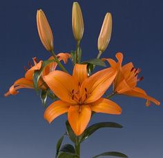 Our Orange Asiatic Lilies are star shaped wedding flowers that make magnificent centerpieces for all occasions.