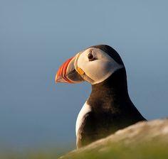 Atlantic puffin, Mykines, Faroe Islands