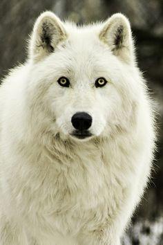 Female Arctic wolf