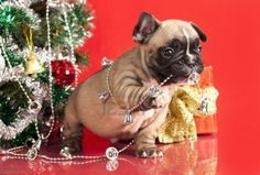 Delicious. Tastes like Christmas. | 23 Puppies Who Couldn't Wait Until Christmas Morning