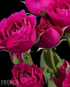 Fuchsia Spray Roses