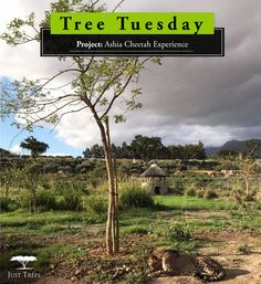 Just Trees is a wholesale tree nursery and we supply specimen container grown trees to the trade throught South Africa. Eureka Lemon, Growing Tree, Acacia, Conservation, Cheetah, Country Roads, Trees, World, Projects