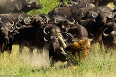 But despite the lion's best efforts at running away, the buffalo catch up with him, and in...