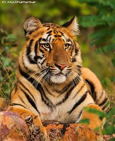 Face of a tiger by Atul Dhamankar on 500px