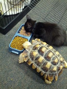 Unlikely friends but ooo so adorable. I Love Cats, Crazy Cats, Cute Cats, Funny Animals, Cute Animals, Photo Chat, Turtle Love, Pet Turtle, Tier Fotos