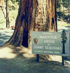 Yosemite National Park - Mariposa Grove - California