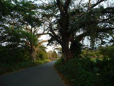 Ceiba en Altagracia de Upata