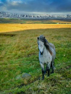 The Icelandic Horse – Pure Beauty | The Planet D