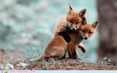 Sweet Little Fox Kits