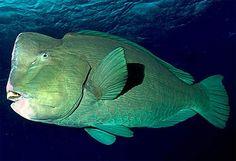 Saving the giant bumphead parrotfish of Palau Best Pet Birds, Puffins Bird, Parrot Fish, Underwater Life, Saltwater Aquarium, Sea Fish, Tropical Fish, Marine Life, Sea Creatures