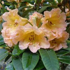 Rhododendron 'Goldsworth Orange'