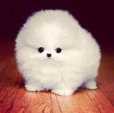 Awww a puff ball. It is a baby pomeranian. Cute Fluffy Dogs, Cute Small Dogs, Super Cute Puppies, Baby Animals Super Cute, Cute Baby Dogs, Cute Little Puppies, Cute Dogs And Puppies, Cute Little Animals, Cute Funny Animals