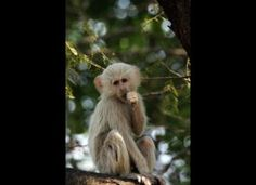 Albino Verbet Monkey
