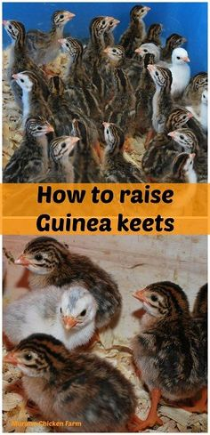 How to raise Guinea keets. Raising guinea fowl from keets is a little different then raising chicks but it's not difficult if you know what to do! Raising Quail, Raising Ducks, Raising Chickens, Types Of Chickens, Keeping Chickens, Urban Chickens, Pet Chickens, Backyard Farming, Chickens Backyard