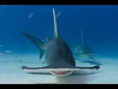 6 Facts about Scalloped Hammerhead Sharks