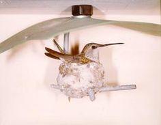 hummingbird houses for nesting | hummingbird-nesting-material
