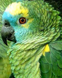 Por que os papagaios falam?